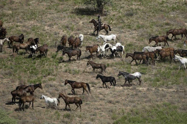 Our herd of 80 horses roaming free in the reserve.
