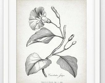 """Résultat de recherche d'images pour """"LISERONS botanique"""""""