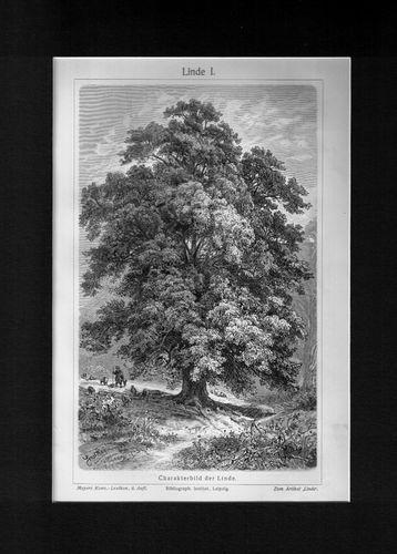 Antique Print Linde Lime Tree Germany Meyers 1905 $14.99