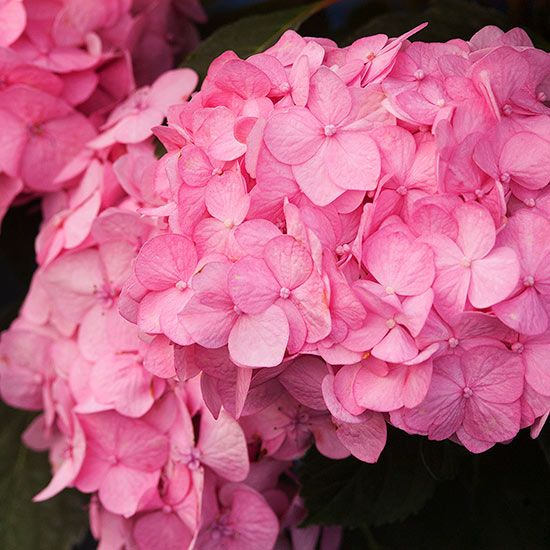 Talk about color! 'Bloomstruck' hydrangea develops wave after wave of blue or pink ball-shape flowers on rich red stems.