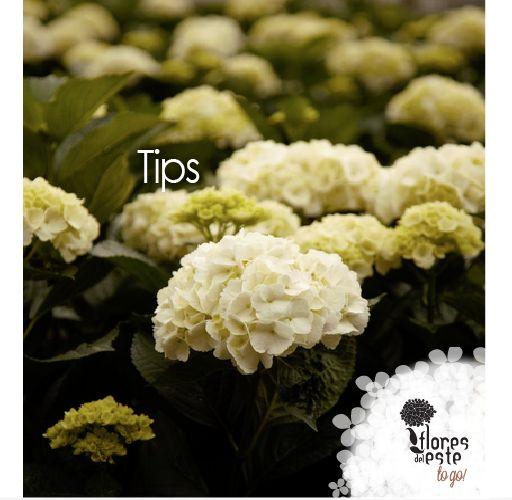 Tips: Antes de colocar las hortensias en el florero, corte los tallos por encima de las bolsitas con agua para facilitar la absorción del agua y la comida de la flor. #hortensias #flores #elegancia #decoración #hogar #floresdelestetogo