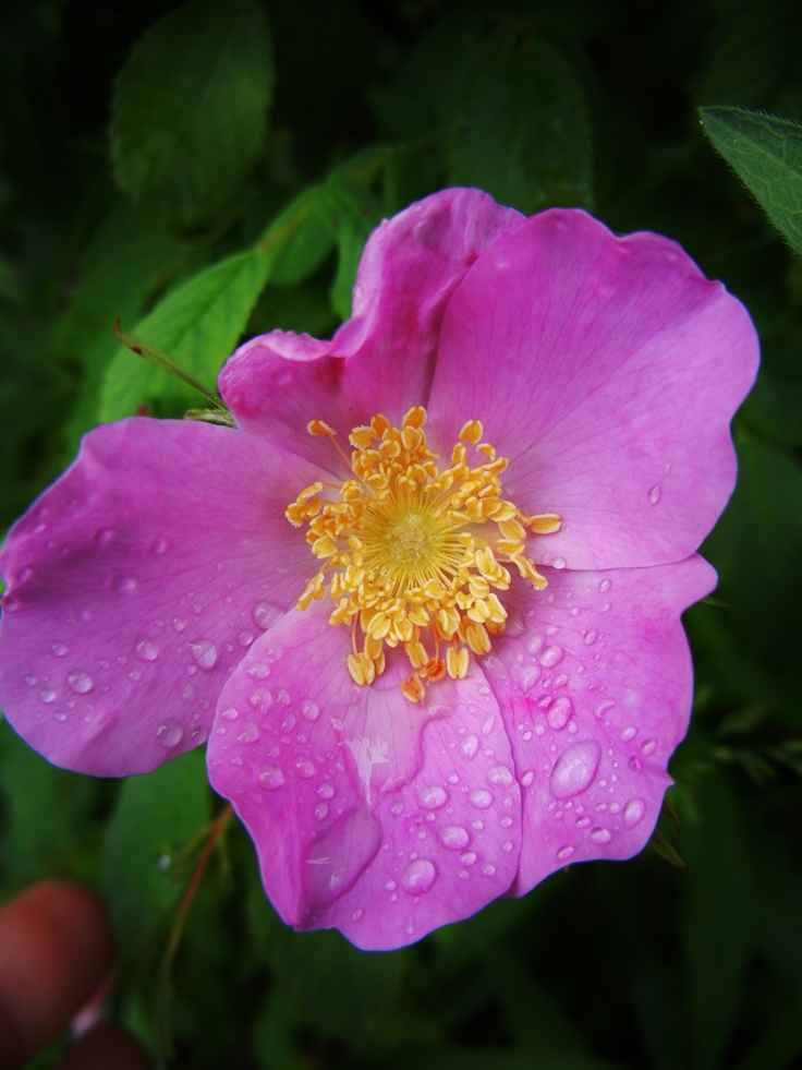 Wild rose Alberta's Provincial Flower Moved one into my
