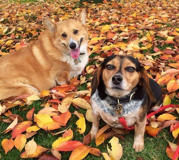 Scarlet the Beagle, also from Danny and Ron's Rescue, will celebrate Christmas along her best bud Nemo the corgi in her happy forever home.   19 Rescue Animals Who Are Going Home For The Holidays