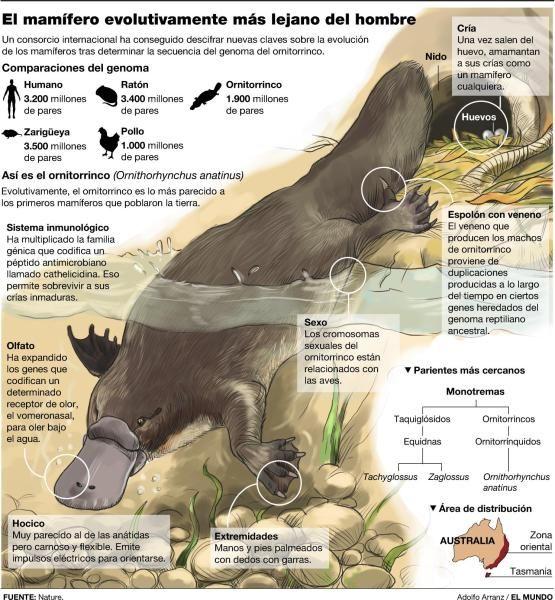 Ornitorrinco, pone huevos, es mamífero, tiene pico de pato, tiene relación con los reptiles.
