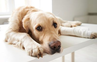 Dogs communicate pain differently than humans.
