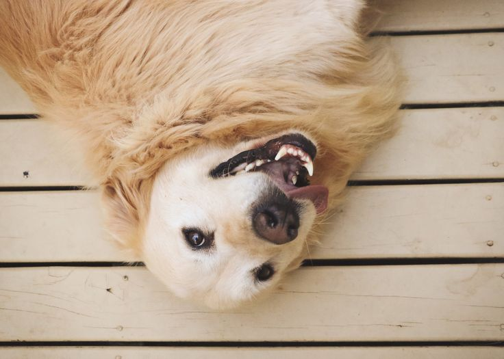 Spud - EVM Pet Photography - Yarra Valley Melbourne Golden Retriever - Dog Photography