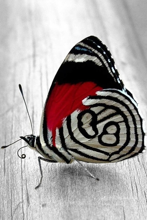 black, white, and red butterfly with just a teeny tiny bit of pale blue- so graphic and gorgeous, like someone took a sumi-e brush to its wings