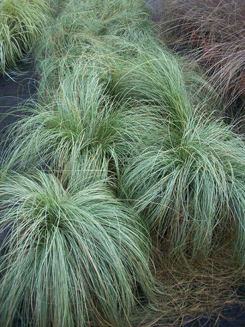Ornamental grass Carex 'Silver Sceptre' - Order Plants online