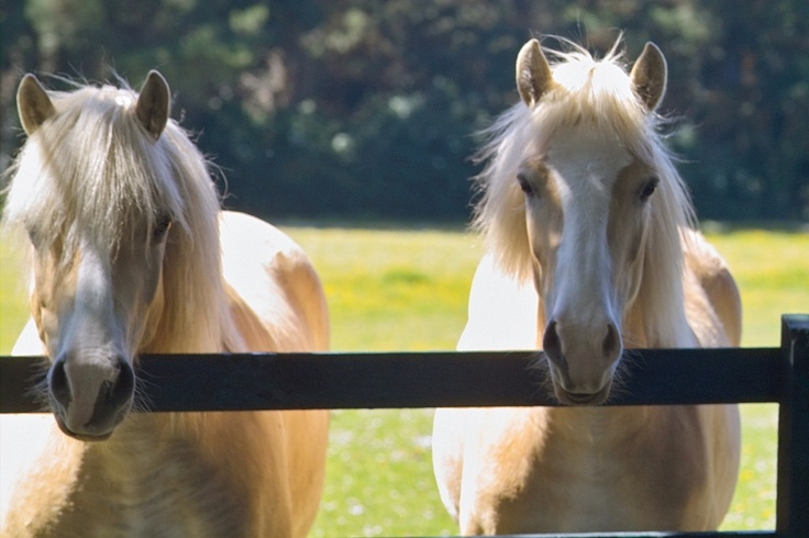 Two of the many resident Haflinger horses at the Hotel Dunloe Castle in Killarney, Ireland, where we stayed. Loved seeing them out our window and off the balcony each day!
