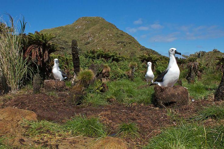 Albatrossess nesting in fernbrush on Nightingale Island