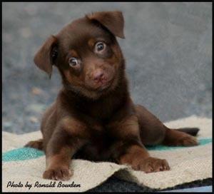 Australian Kelpie puppy. I love kelpies, most beautiful loyal dog
