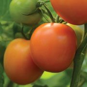 Plant-Heirloom Marriage™ Perfect Flame Tomato