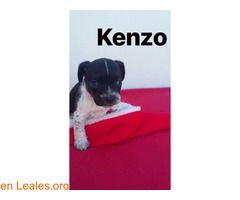 Kenzo el adorable  #Adopción #adopta #adoptanocompres #adoptar #LealesOrg  Contacto y info: Pulsar la foto o: https://leales.org/animales-en-adopcion/perros-en-adopcion/kenzo-el-adorable_i2824 ℹ  Sociable con perros y gatos. Fue rescatado con apenas 20 días de vida junto con su madre y sus hermanos. Después de sobrevivir a la parvo y a la tos de perrera hace vida normal en su casita de acogida. Quiere una familia definitiva para toda su larga vida.    Acerca de esta publicación:   Esta…