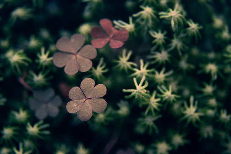 https://flic.kr/p/eSYiXL | lover clover | some clover surrounder by moss, found home, in the backyard. nikon f80 + kodak gold 200