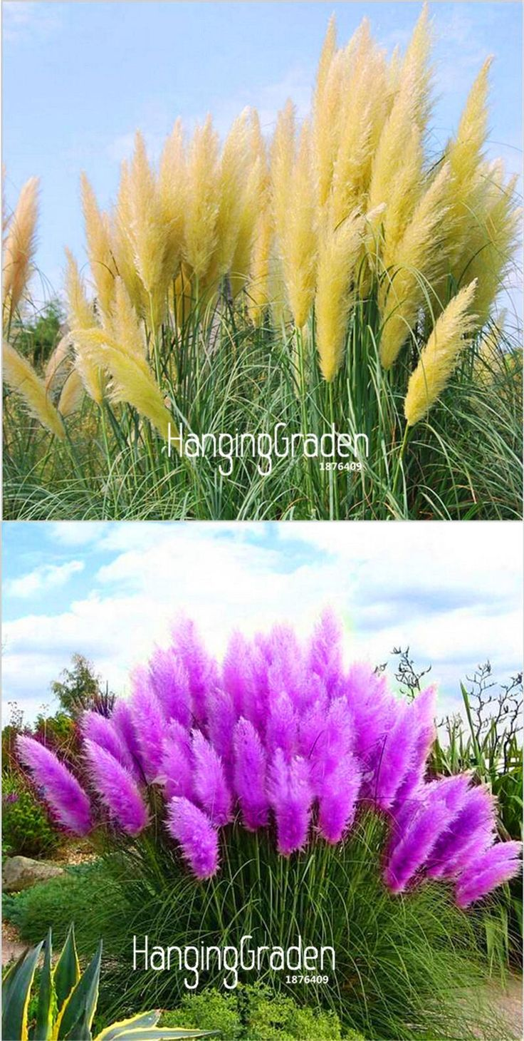 [Visit to Buy] Big Sale!Pampas Grass Seed Patio and Garden Potted Ornamental Plants New Flowers Cortaderia Grass Seed 50 Pcs/Lot,#8IWL6O #Advertisement