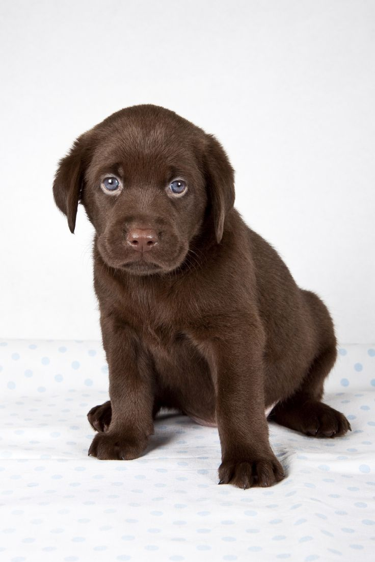 206 best Chocolate labs images on Pinterest | Chocolate labs ...