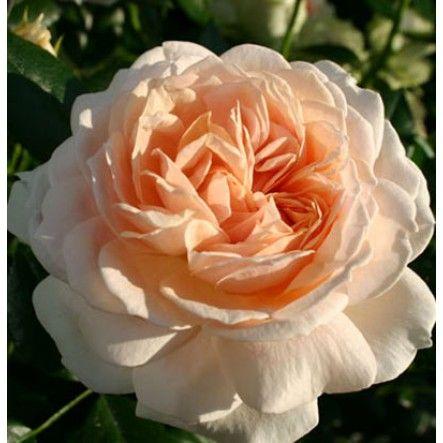 Joie de Vivre (Shrub Rose)
