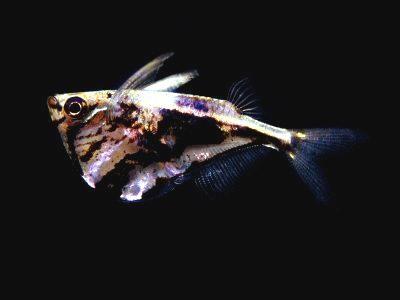 common hatchetfish gasteropelecus sternicla silver hatchetfish common ...