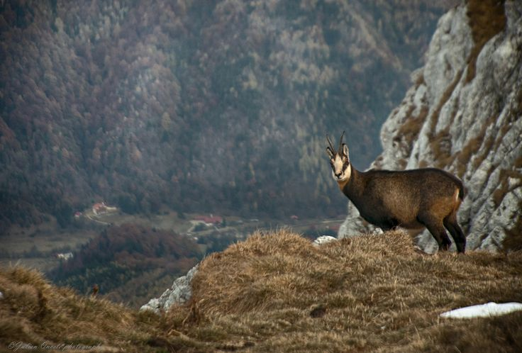 Chamois in November by Julien Oncete on 500px