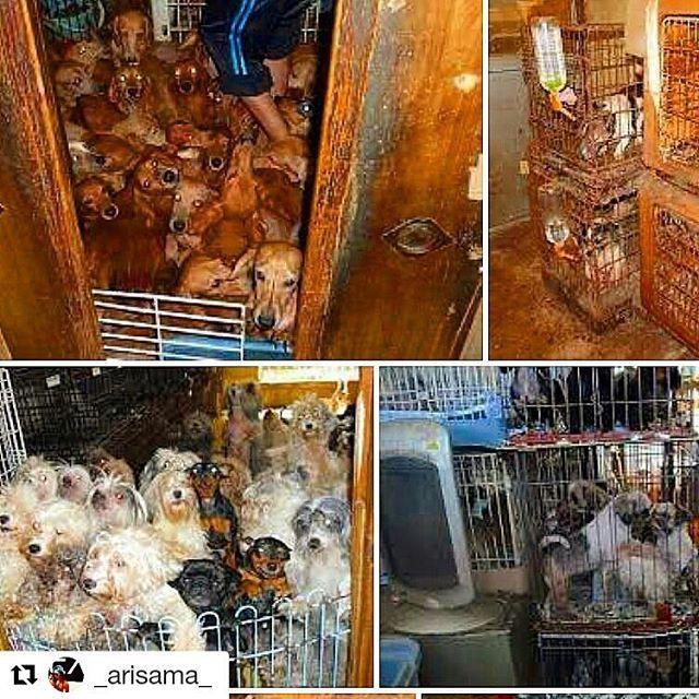 こちらもリポストです。 あってはならない世界、絶対排除しなくてはならない業界だと思います❗  #Repost @_arisama_ with @repostapp ・・・ 何年もの間、 ペットショップの裏側では、 性的奴隷として繁殖をさせられる事を目的とした 犬と猫が存在して居ました! 地獄そのもの!! 商売道具として扱われる毎日… 大切な命が犠牲になっています… この子達を救いましょう!!!! 悪徳ブリーダー撲滅 殺処分0を実現させる為に、 法律改正の署名を集めています! プロフィールにURLを貼りました! ネットから誰でも署名ができます!! miyokoasada.comでも検索できます(*^▽^*) 10万人の署名が必要です。 ご協力お願い致します!  何度も何度も繁殖行為をさせられ 母と父は体がボロボロです…😭 けれど、子供達にも辛い現実が待ち受けています。 行き場が無いパピー(子犬と子猫)達は、 ムリな体勢であろうが関係なしに、 ぎゅうぎゅうに押し込められています。  作りすぎた作品 商品にならない失敗作 この子犬と子猫達は、 どんどん遺棄、破棄されます。。。…