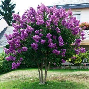 Medium Crape Myrtles > CATAWBA (18ft Darkest Violet-Purple)  (I'm hoping this would be good for a front south-facing yard; however we're in zone 7.)