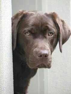 Now does he look like a lab ..?