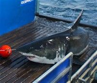great white shark mary lee tracker - Bing Images