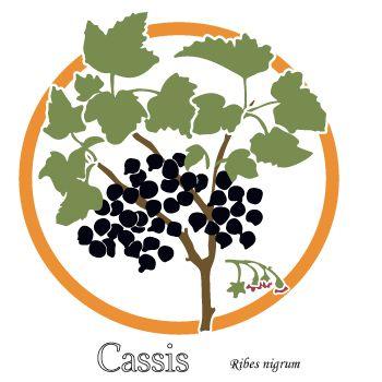 Des feuilles de cassis pour les articulations. Dessin d'une branche et de la fleur. Plante médicinale.