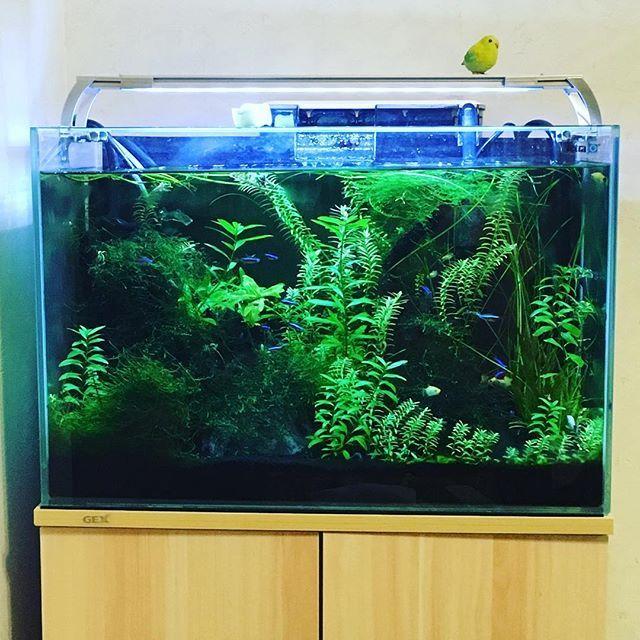 【kaori_to_ishi】さんのInstagramをピンしています。 《我が家のリビングにある水槽🐟癒しスポットϵ( 'Θ' )϶ #アクアリウム  #ネオンテトラ #プラティ #旦那の趣味  #リビング #インテリア #水草 #水槽 #癒し》