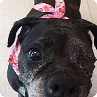 Pictures of Mabel a Boxer Mix for adoption in Hawthorne, CA who needs a loving home.