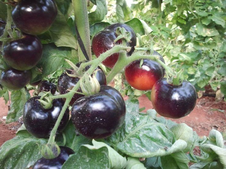13 best mini tomate indigo rose tomate azul images on. Black Bedroom Furniture Sets. Home Design Ideas
