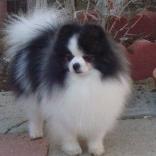 A beautiful black and white parti mix reminds me of Bianca's mommy she has less black though. :)