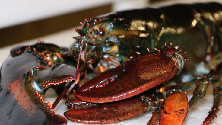 Clawdette the 4-clawed lobster shows up in Maine seafood wholesaler's shipment - AOL