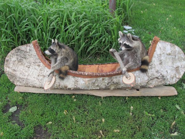 native racoons