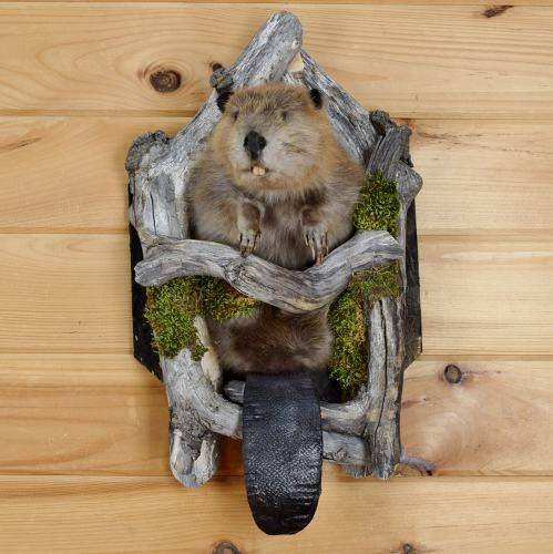 Beaver Taxidermy Mount for Sale - SW3680