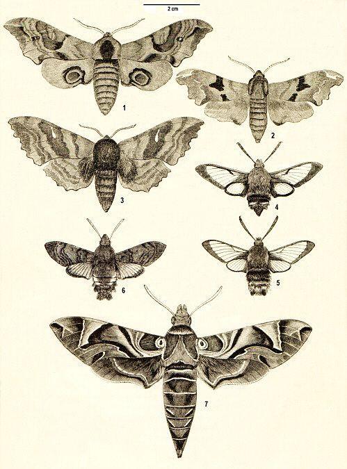 Afbeeldingsresultaat voor drawing moth