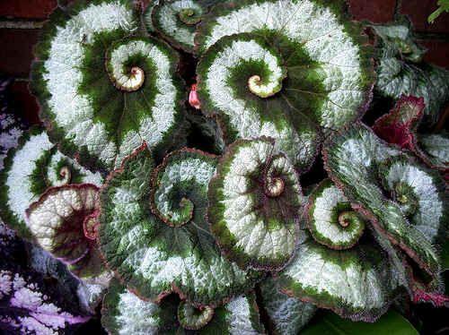 Rex Begonia: Begonia Escargot, Escargot Rex, Escargot Begonia, Begonia Leaves, Green Leaves, Begonia Rex, Google Search, Beautiful Begonia, Rex Begonia