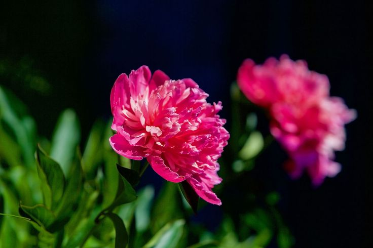 Пионы. Усадьба Грибаново. Россия. фото: Ирина Майсова #flowers, #wildflowers, #bouquetflowers, #nature, #ecology #peony