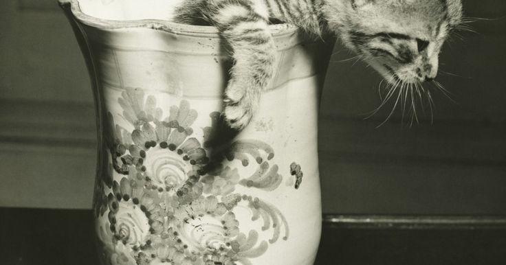 Cómo comprar los gatitos más pequeños del mundo, taza de té. Los gatitos taza de té se encuentran entre los más pequeños del mundo y pueden encontrarse en varias razas. Cuando buscas un gato en miniatura, es importante que no sólo mires el peso del gato, debido a que algunos criadores sin escrúpulos te dirán que un enano es un taza de té, pero en realidad sólo tiene un tamaño más pequeño. Un verdadero ...