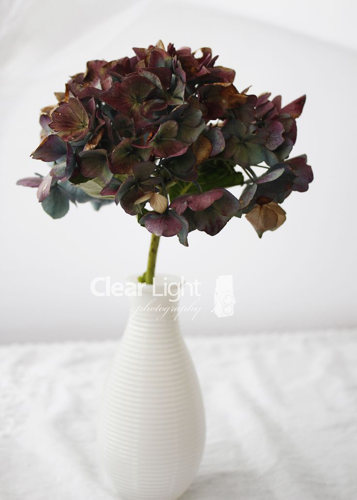 Love how the Hydrangeas change colour when they are starting to die off.. This flower was originally bright blue