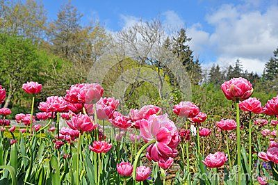 Beautiful pink spring tulips with botanical park landscape in background