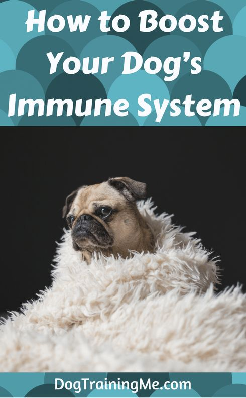 Learn how to boost your dog's immune system. A good immune system will help your dog fight off disease. You can improve it with diet, exercise, and good hygiene. Read this advice and more in our article.