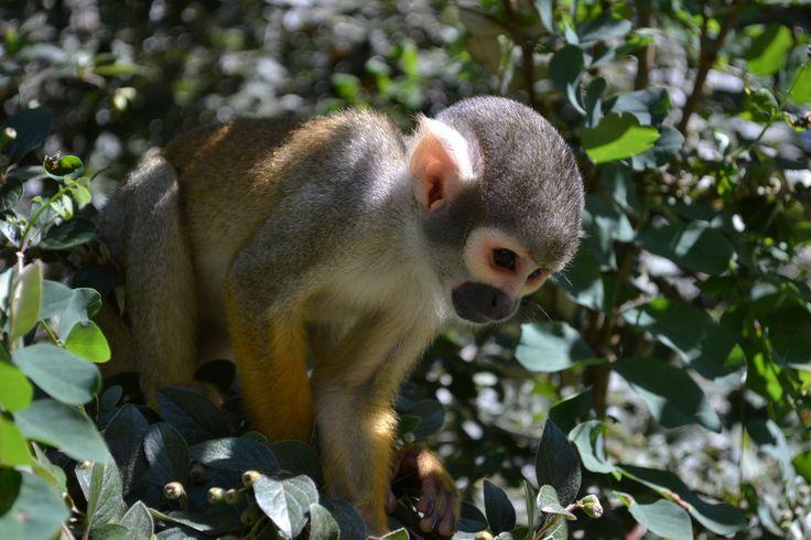 Le Saïmiri est un petit singe d'Amérique du Sud. Il ne pèse pas plus de 800 grammes.