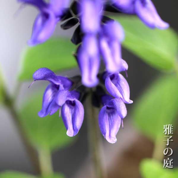 メドーセージの育て方 夏の花 植物 分類 誕生花