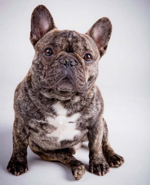 Dogs French Bulldog Videos