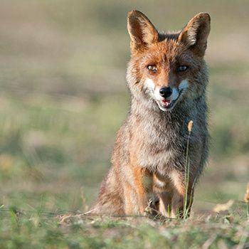 Ch'tis fox days : non au massacre légal des renards dans le Nord !  La Fédération de chasse du Nord organise la Ch'tis fox days, 8 jours durant lesquels tout sera bon pour détruire le plus grand nombre de renards et par tous les moyens possibles. Dites non au massacre de 6500 renards !