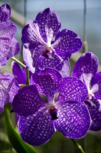 Orchid farm, Chiang Mai, Thailand Nature in Violet!  http://www.ecoglobalsociety.com/nature-in-violet/