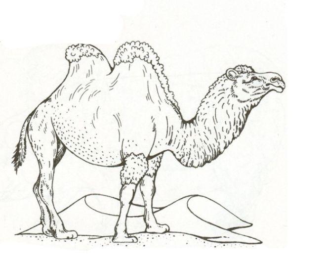 8 best 03.08.0002 Kamel Zeichnungen images by Wilhelm Lücking ...