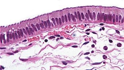 Tecido epitelial Prismático, Colunar ou Cilindrico O tecido epitelial desempenha várias funções no organismo, como proteção do corpo (pele), absorção de substâncias úteis (epitélio do intestino) e percepção de sensações (pele), dependendo do órgão aonde se localizam.