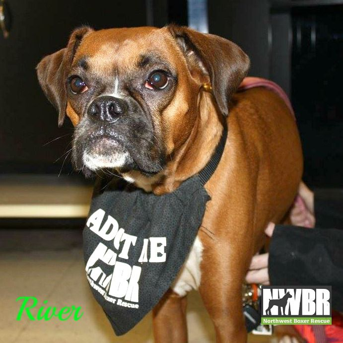 Litter of 7 Boxer puppies for sale in WA. ADN